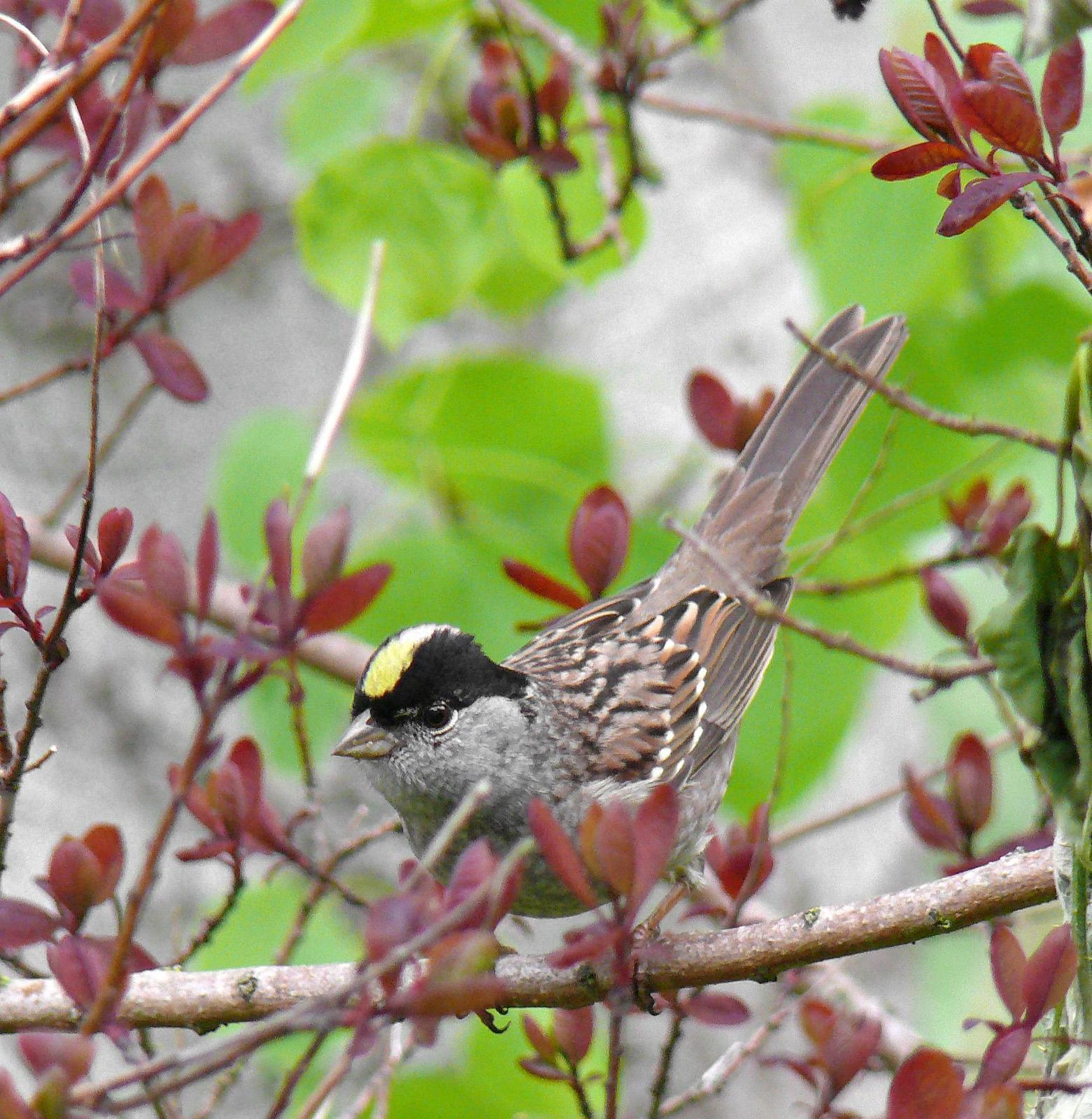 Golden-crowned Sparrow Photo by Steven Mlodinow