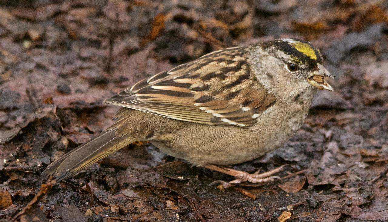Golden-crowned Sparrow Photo by Brian Avent