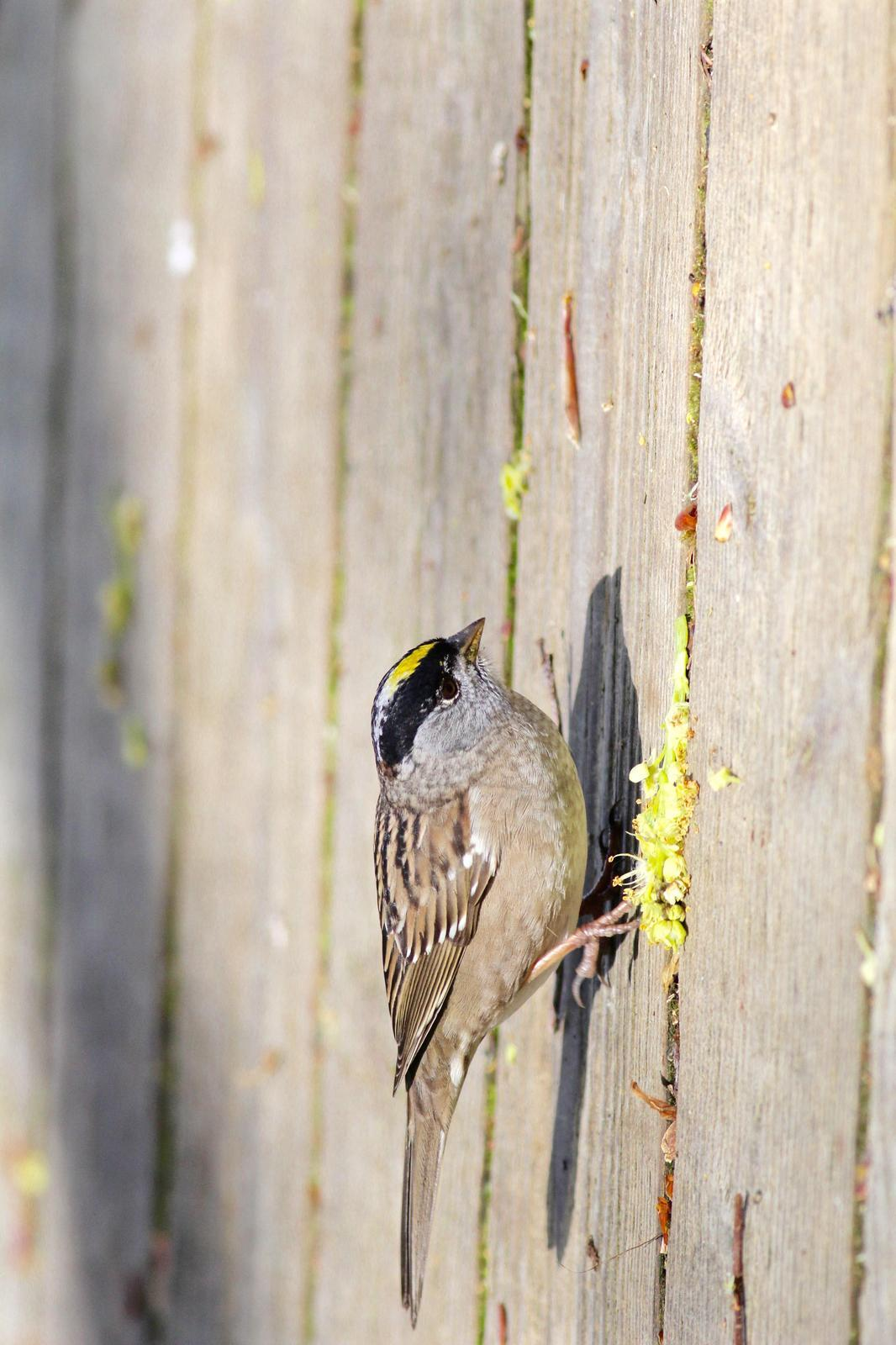Golden-crowned Sparrow Photo by Kathryn Keith