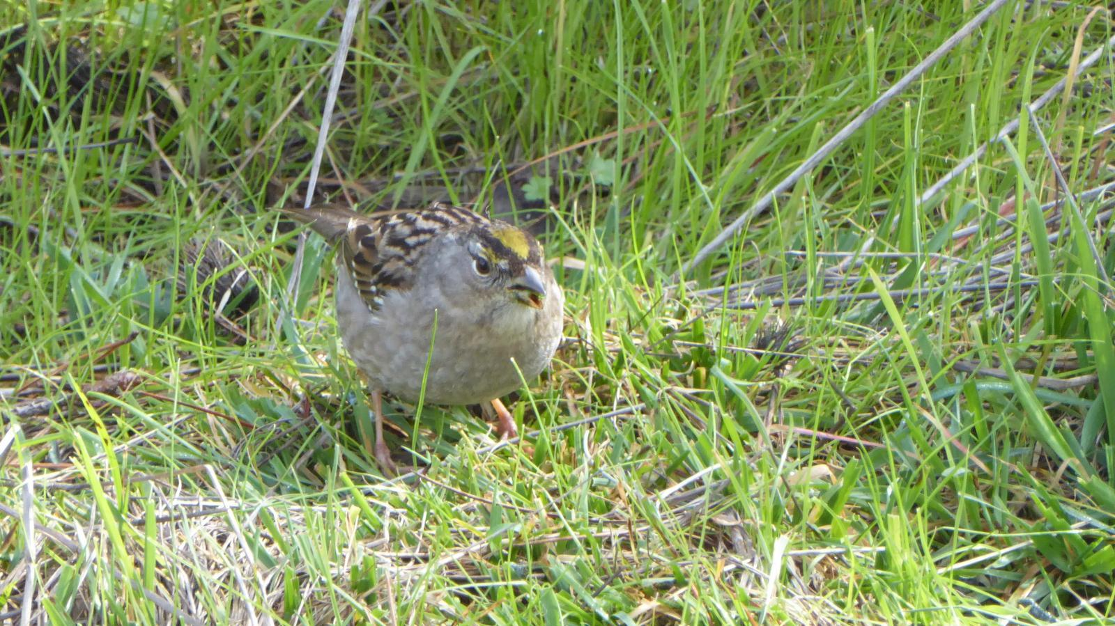 Golden-crowned Sparrow Photo by Daliel Leite