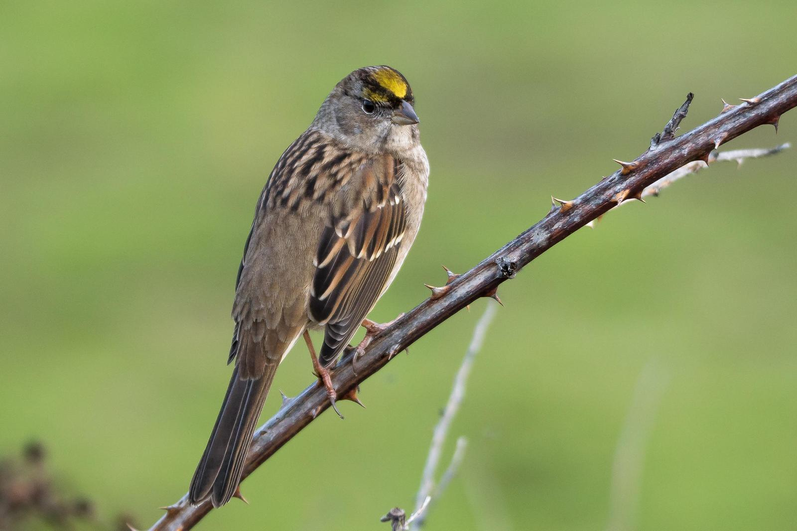 Golden-crowned Sparrow Photo by Gerald Hoekstra