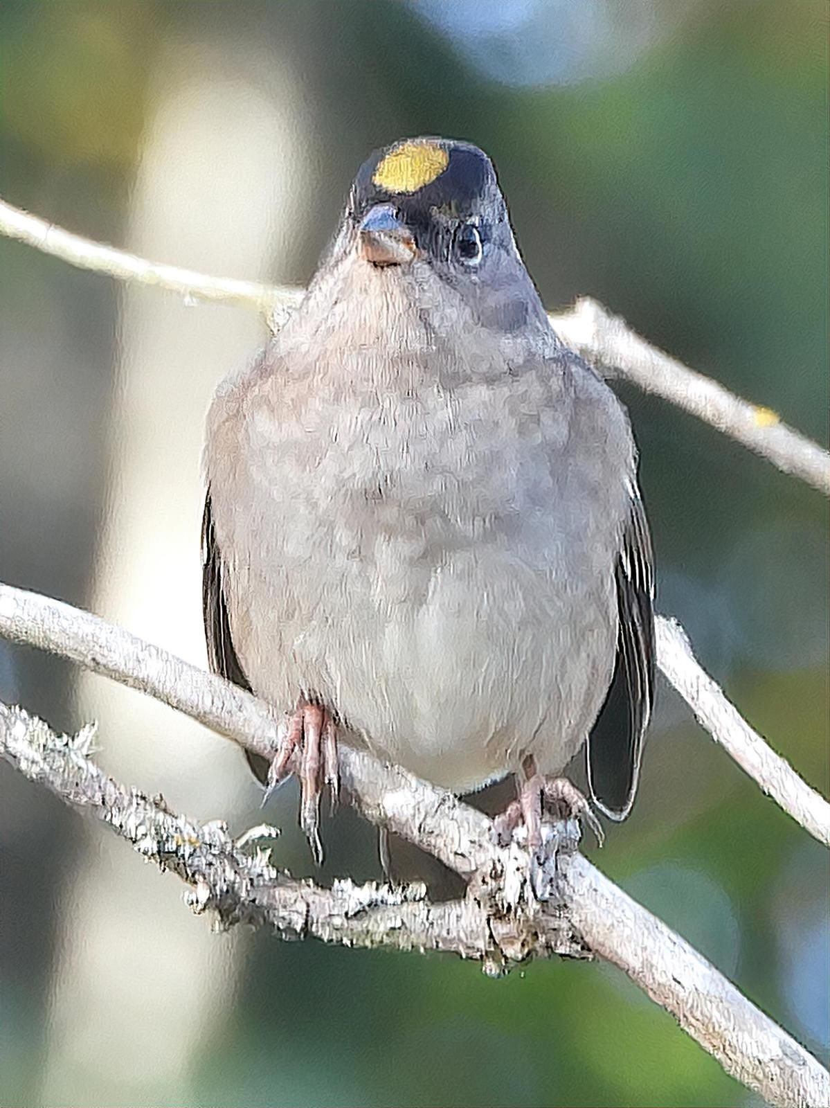 Golden-crowned Sparrow Photo by Dan Tallman