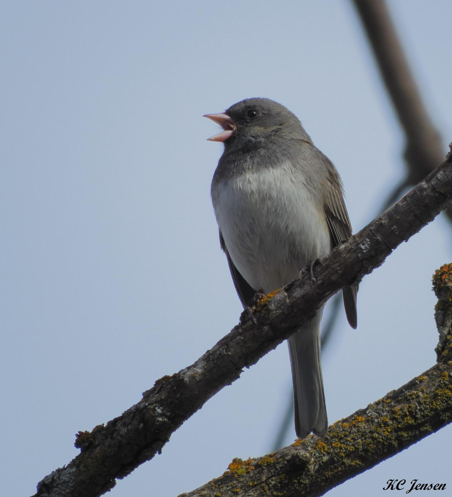 Dark-eyed Junco (Slate-colored) Photo by Kent Jensen