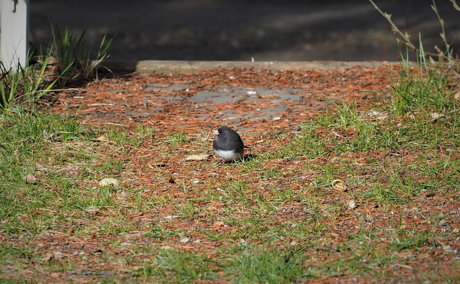 Dark-eyed Junco (Slate-colored) Photo by Colin Hill