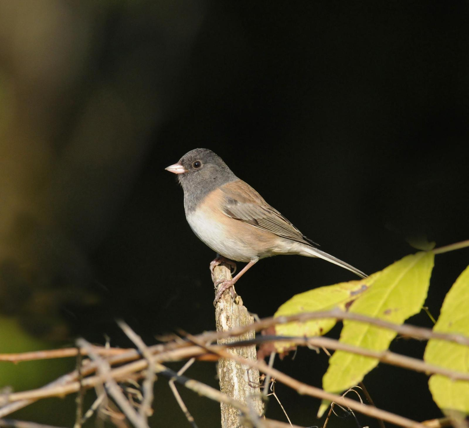 Dark-eyed Junco (Oregon) Photo by Steven Mlodinow