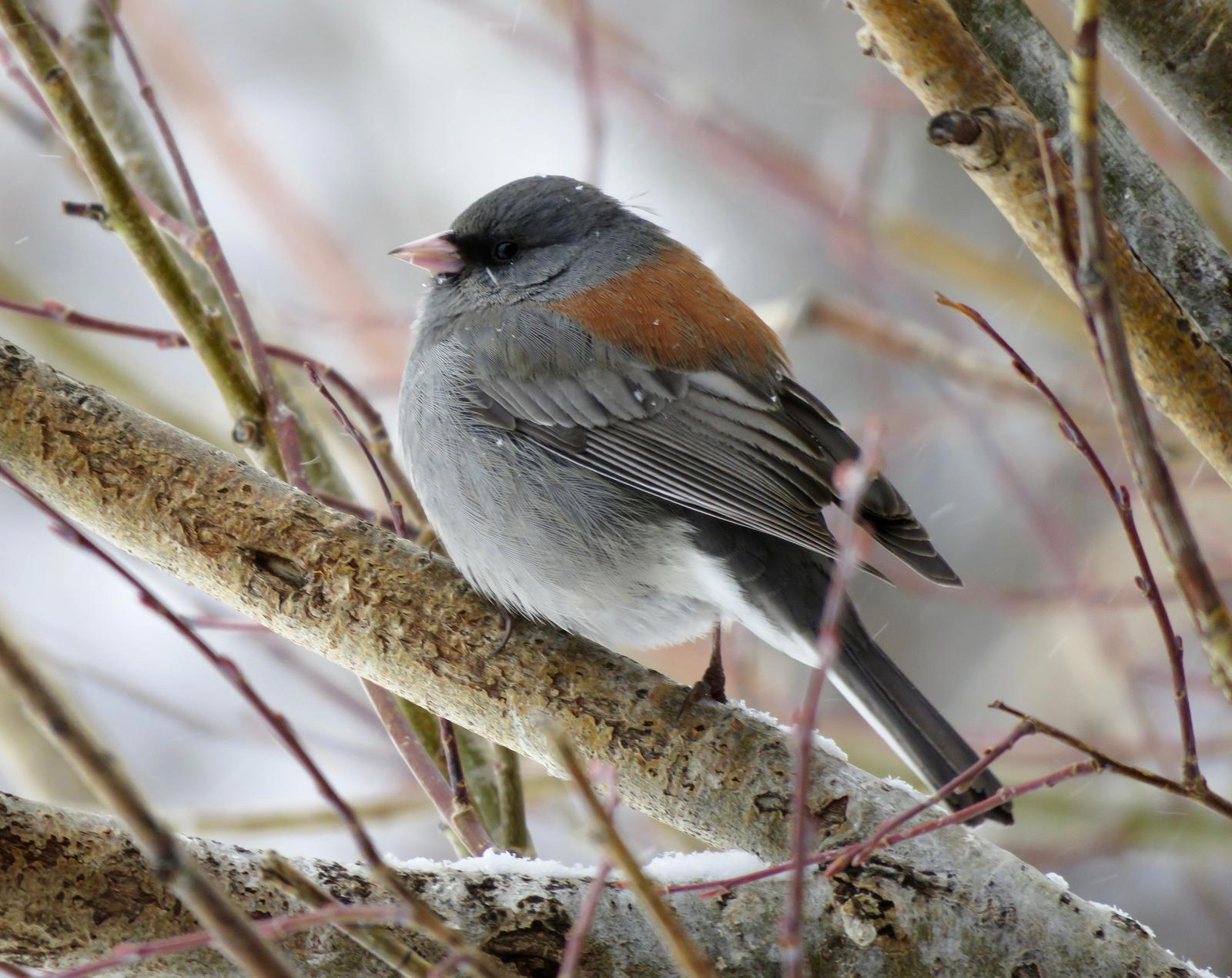 Dark-eyed Junco (Gray-headed) Photo by Don Glasco