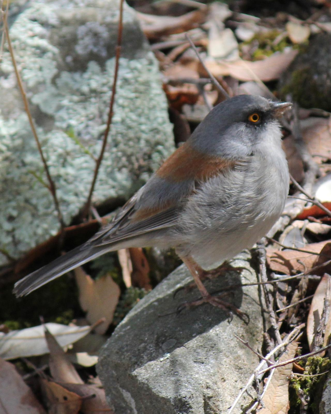 Yellow-eyed Junco Photo by Mike Taylor