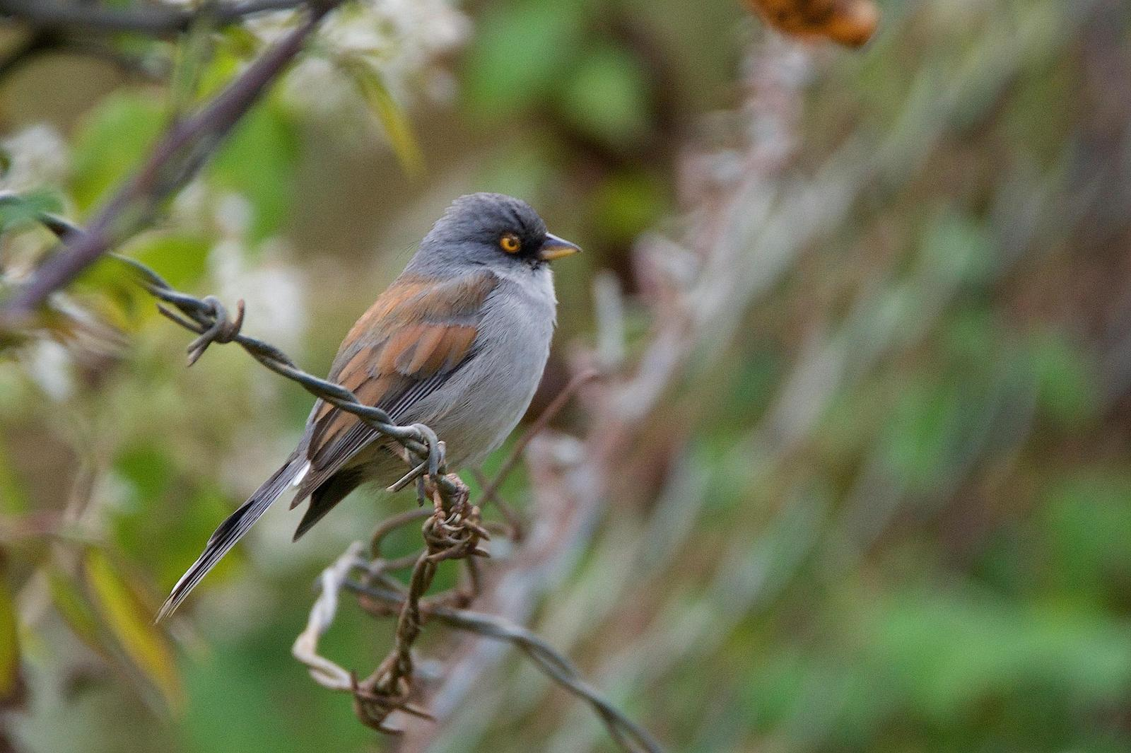 Yellow-eyed Junco Photo by Gerald Hoekstra
