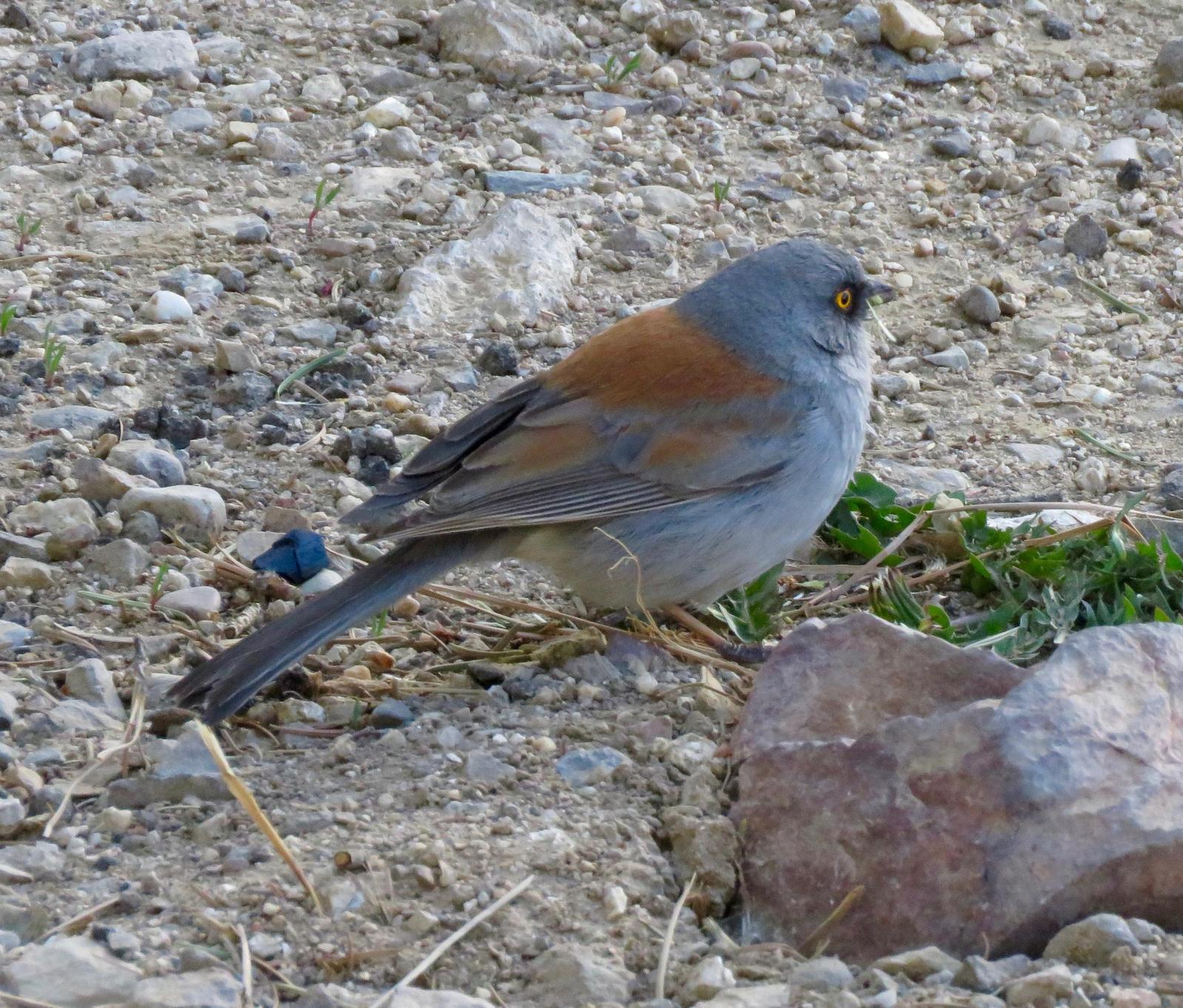 Yellow-eyed Junco (Mexican) Photo by Don Glasco