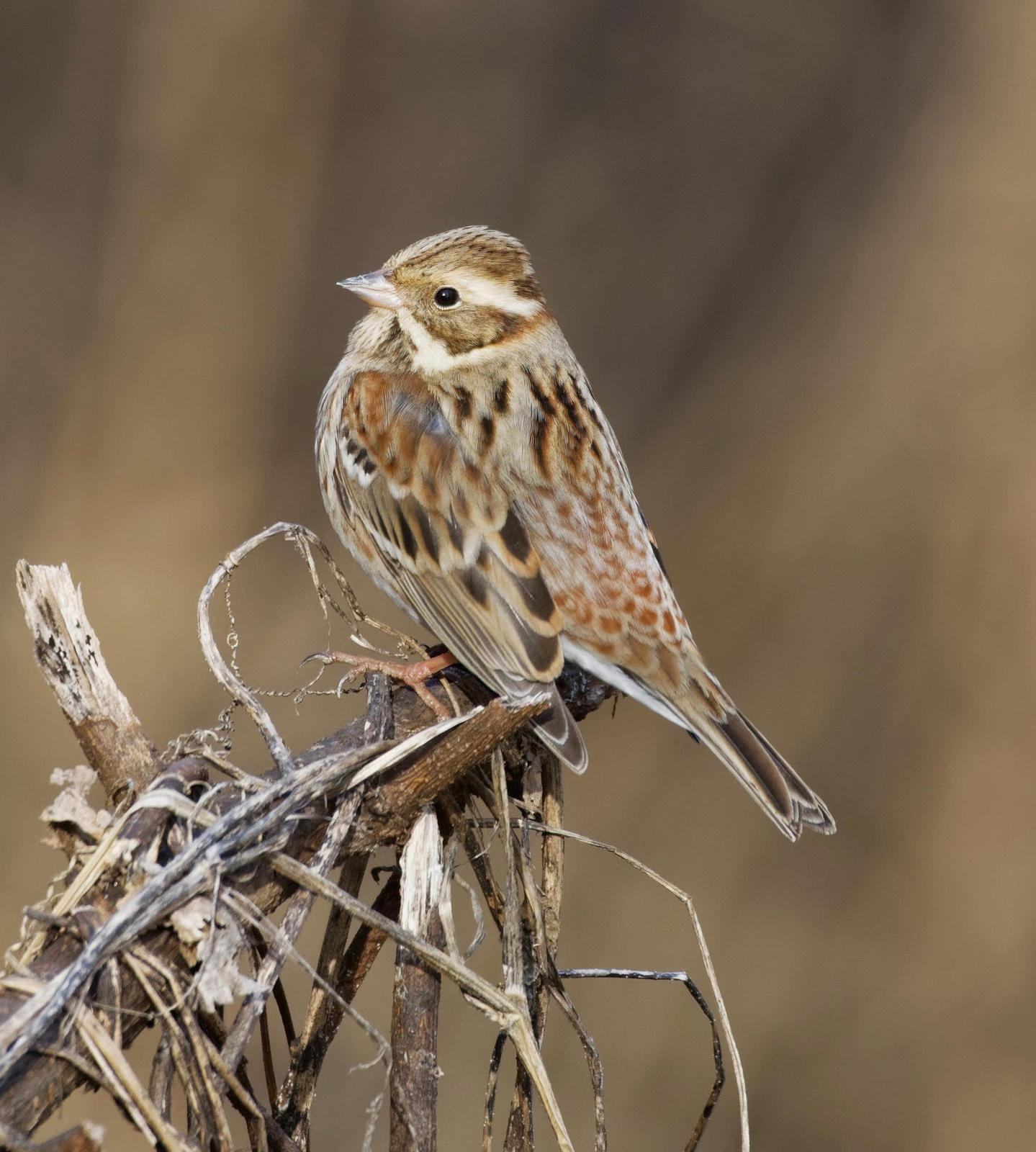 Rustic Bunting Photo by Robert Cousins
