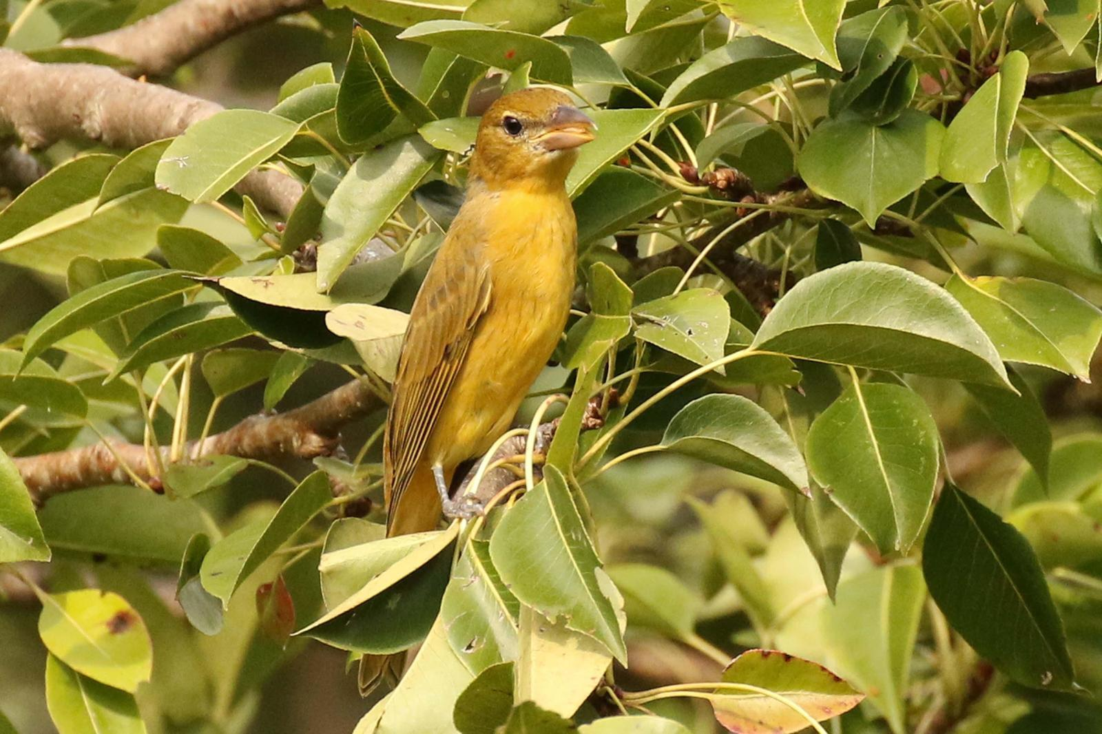 Summer Tanager Photo by Kristy Baker