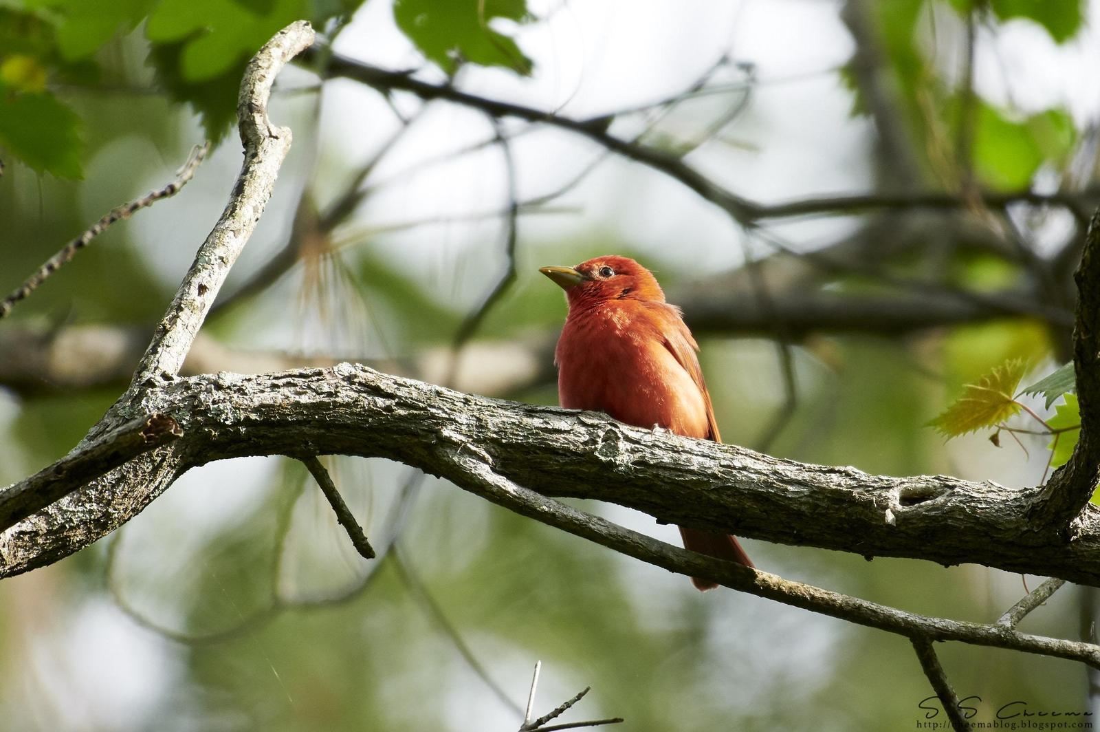 Summer Tanager (Eastern) Photo by Simepreet Cheema