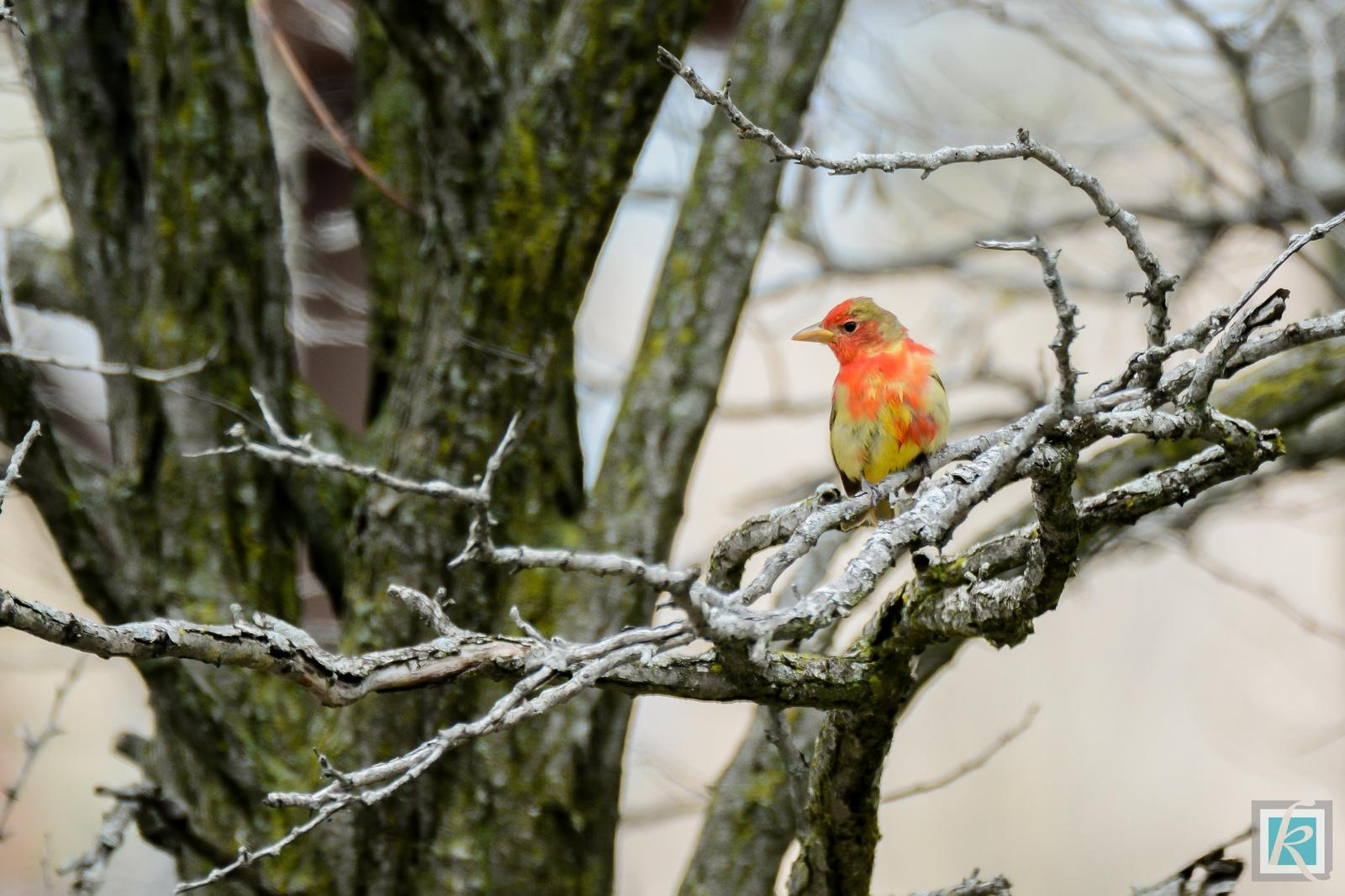 Summer Tanager (Eastern) Photo by Tyson Kahler