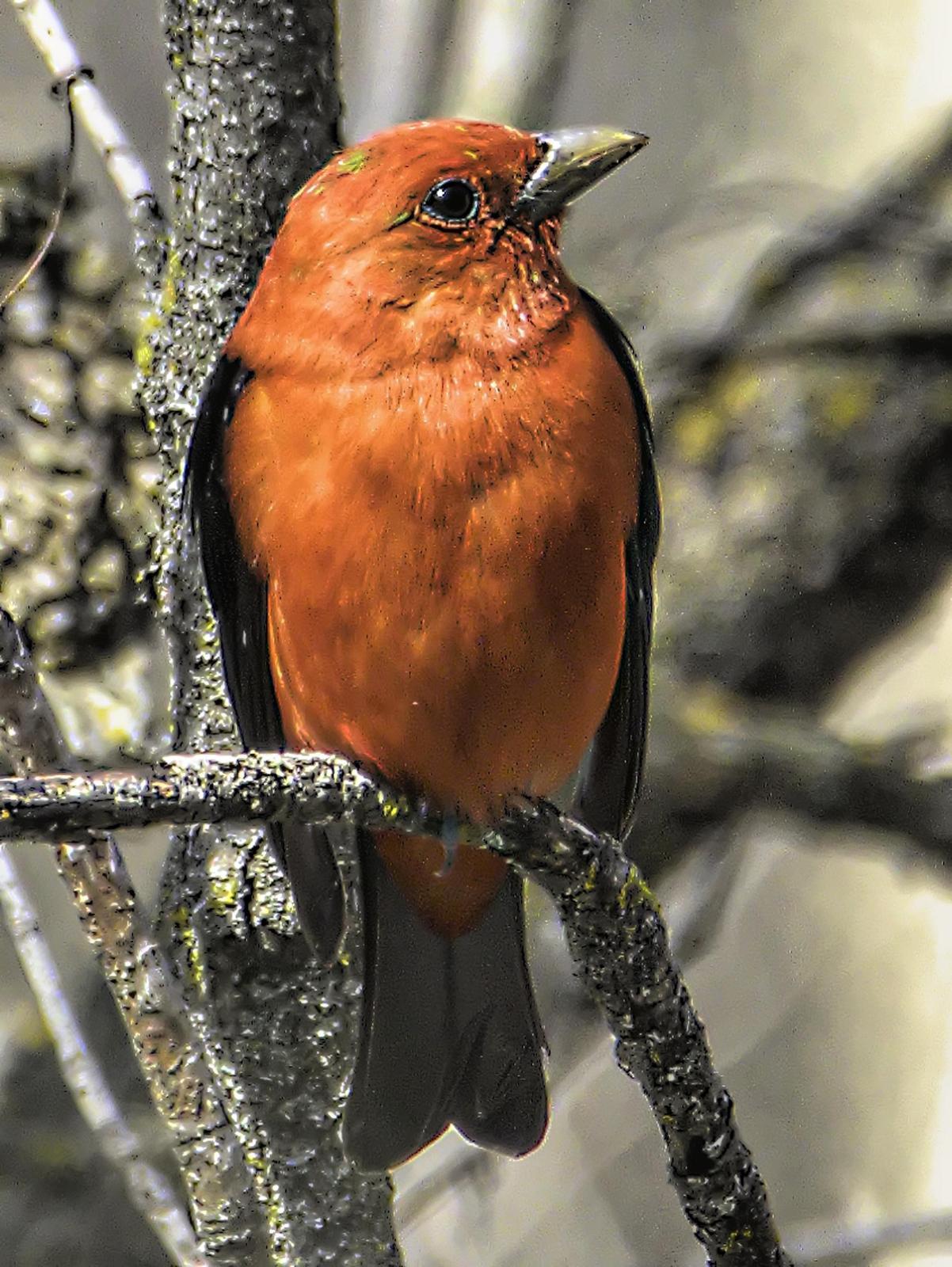 Scarlet Tanager Photo by Dan Tallman