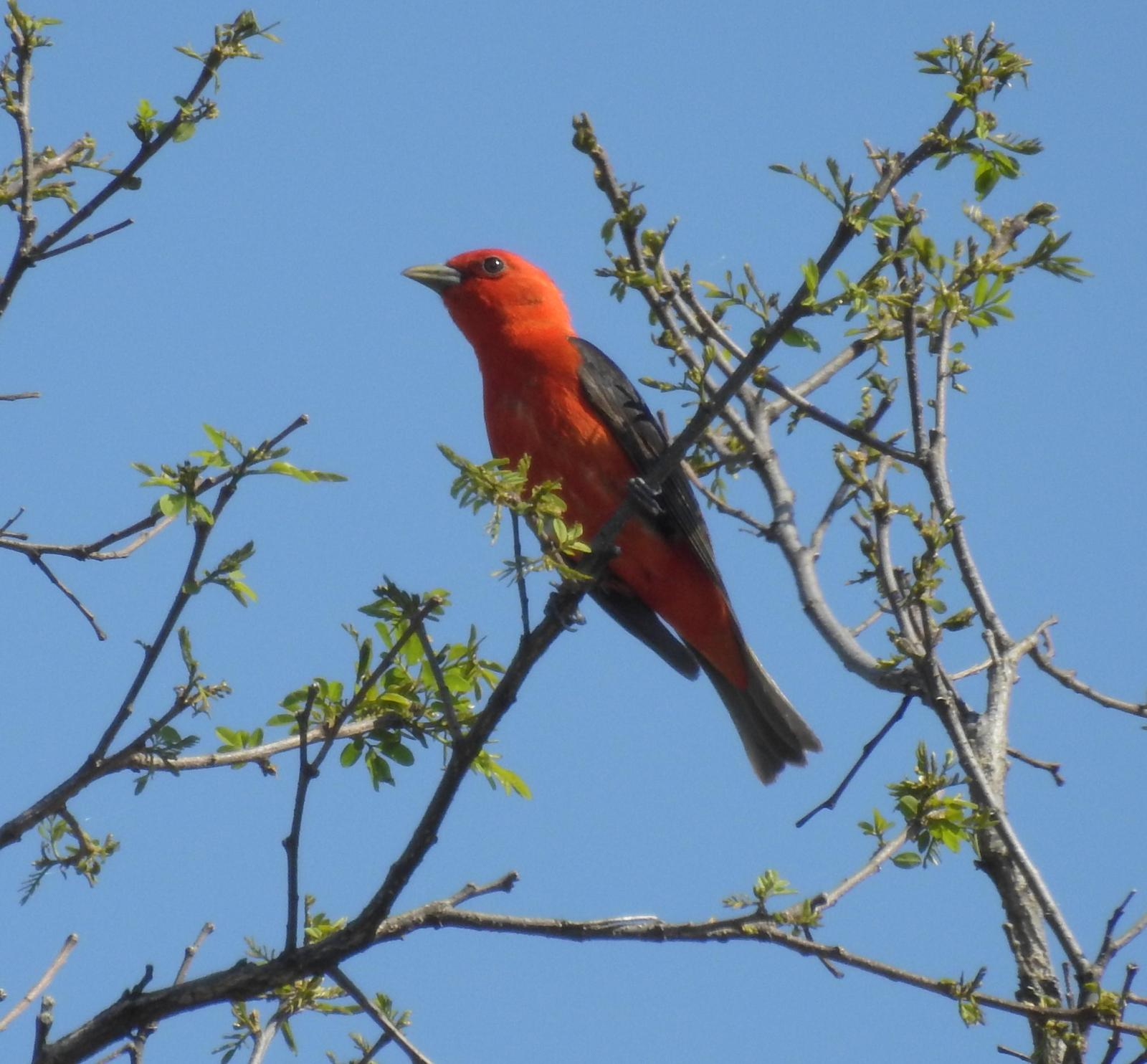 Scarlet Tanager Photo by John Licharson