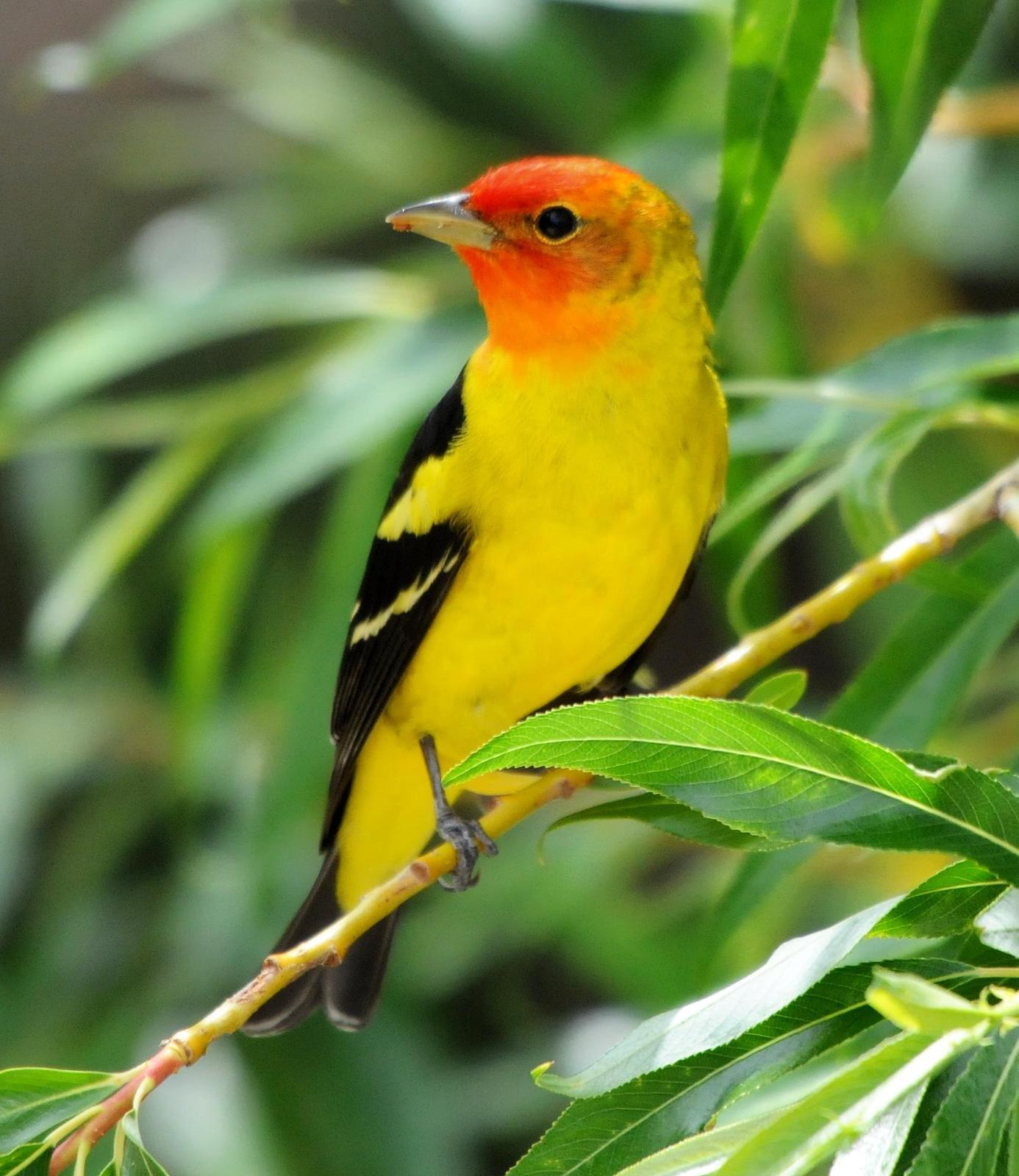 Western Tanager Photo by Steven Mlodinow