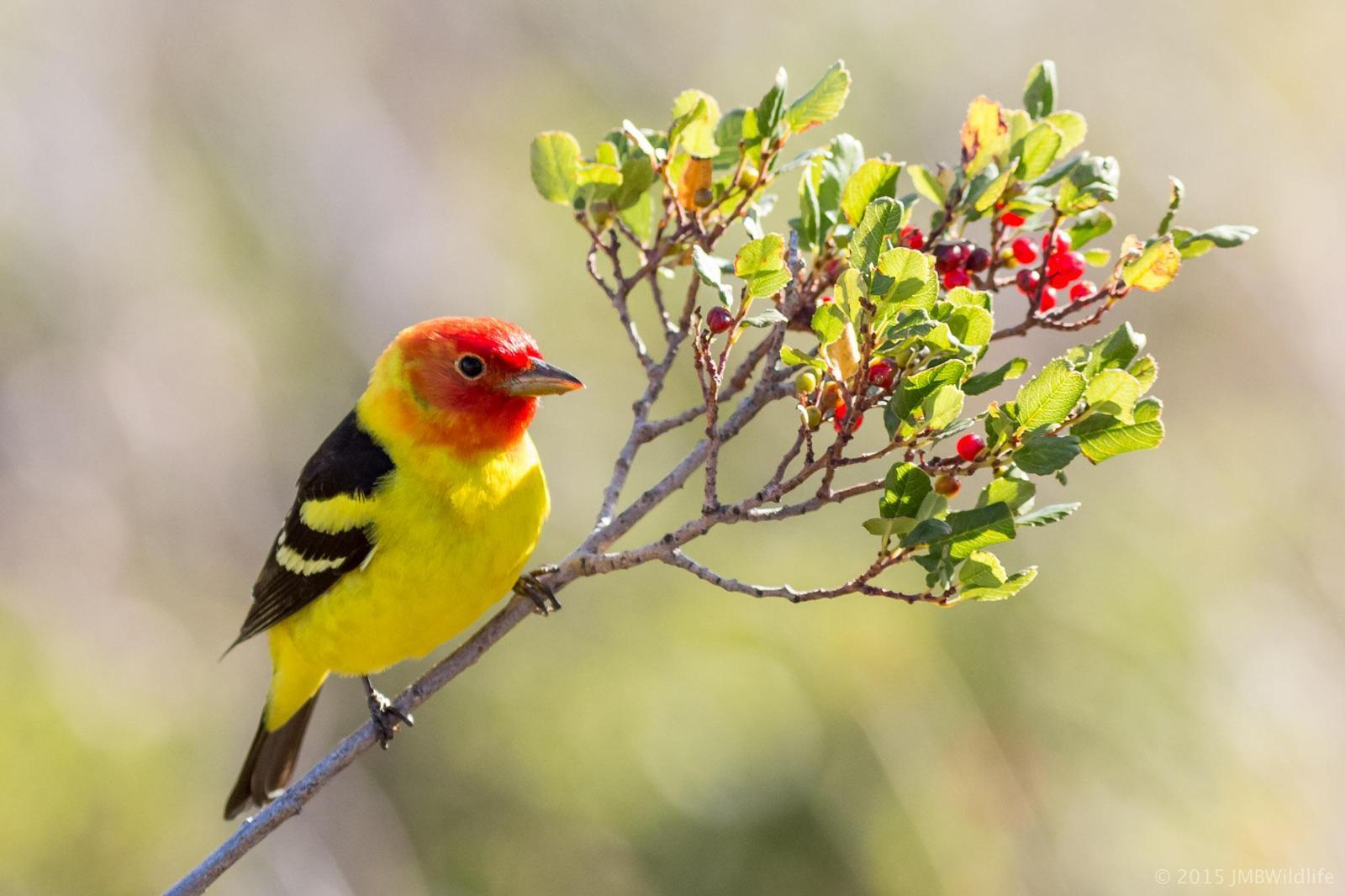Western Tanager Photo by Jeff Bray