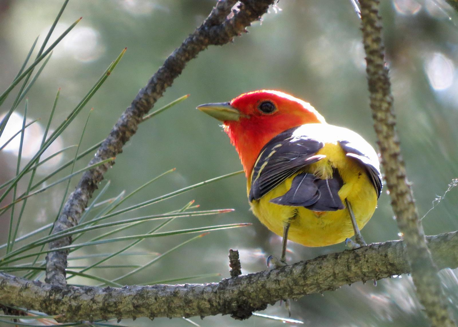 Western Tanager Photo by Kelly Preheim