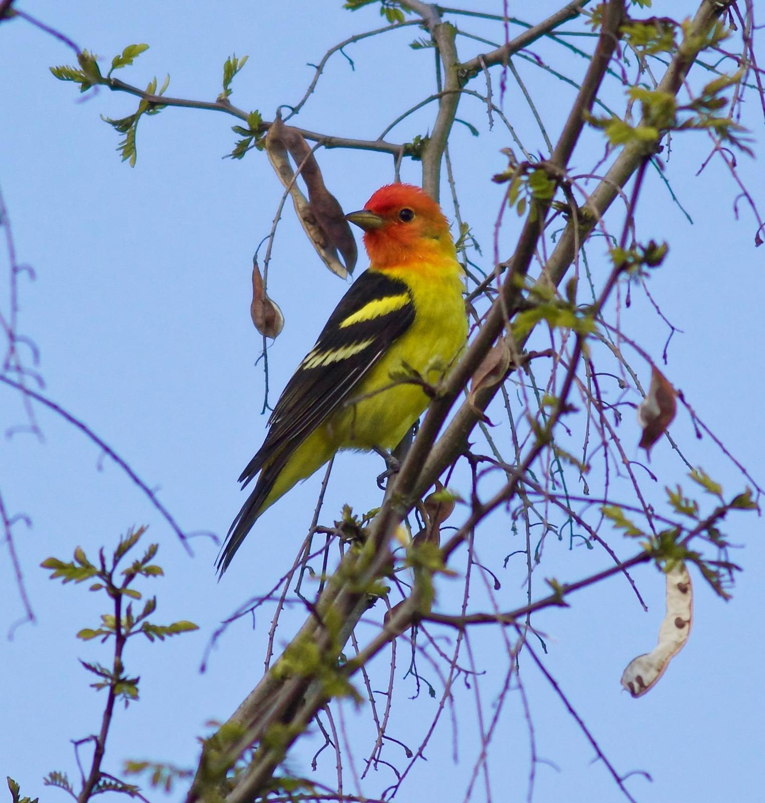 Western Tanager Photo by Kathryn Keith