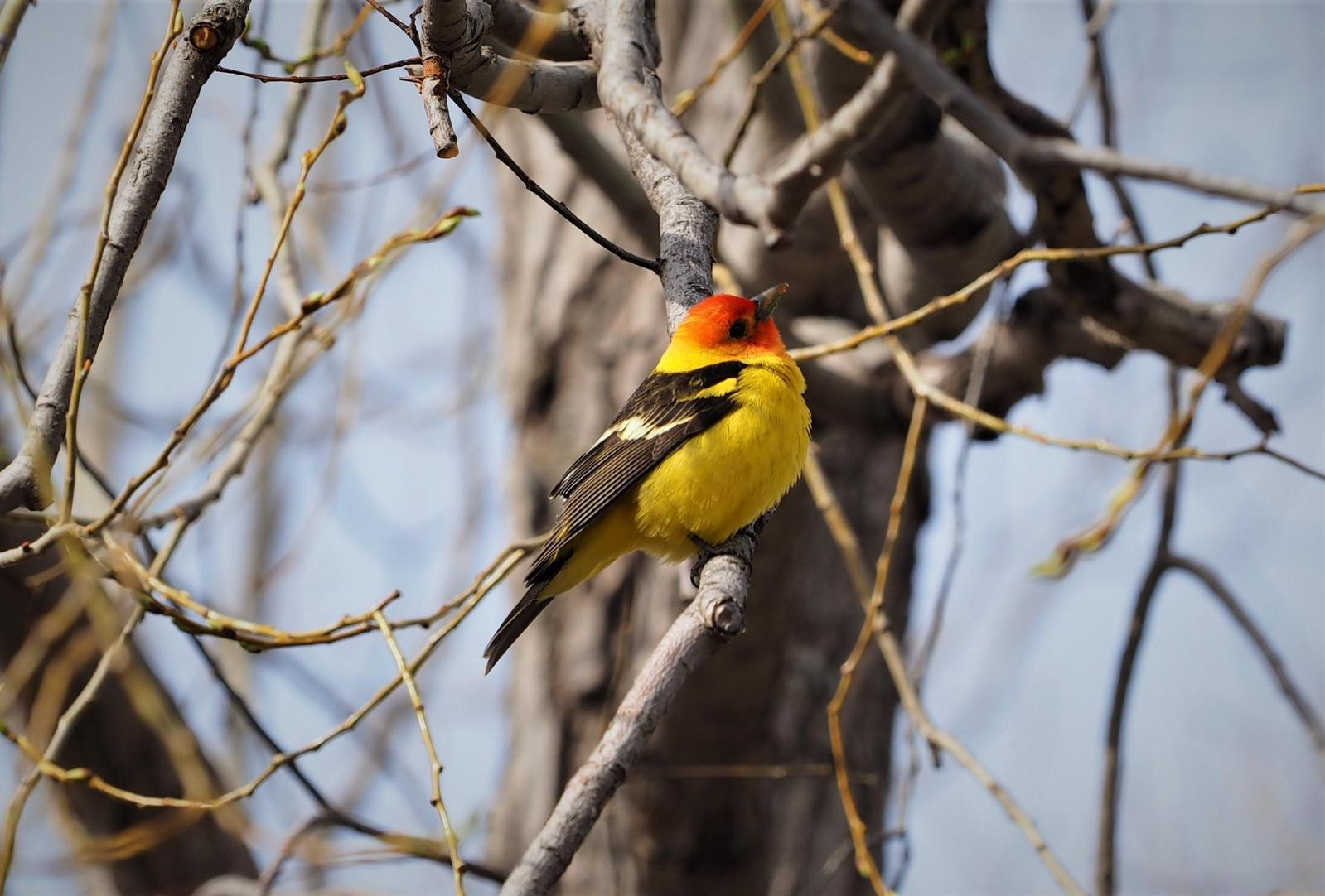 Western Tanager Photo by Colin Hill