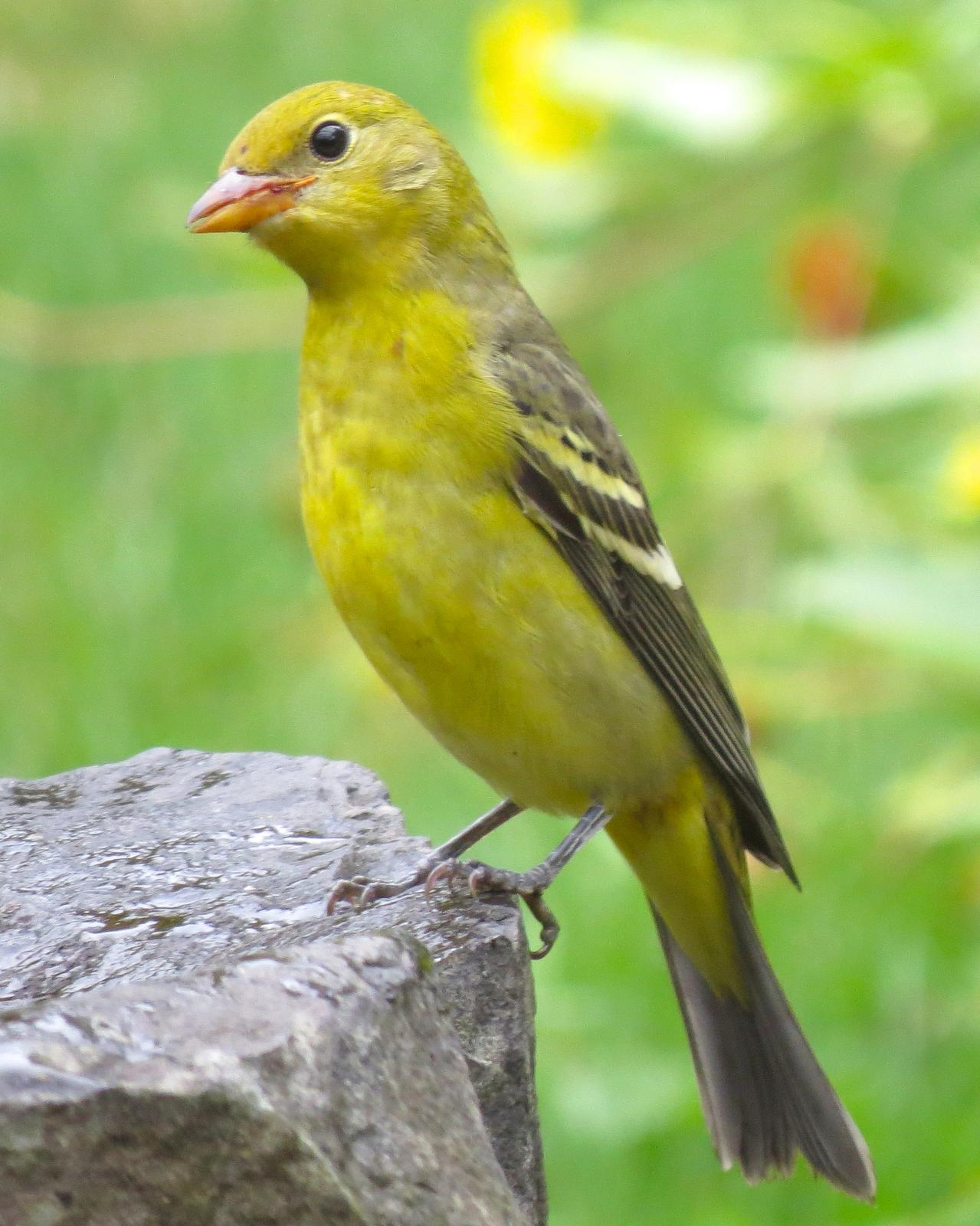 Western Tanager Photo by Robin Barker