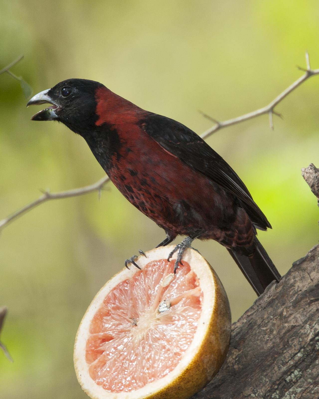 Crimson-collared Grosbeak Photo by Jeff Moore