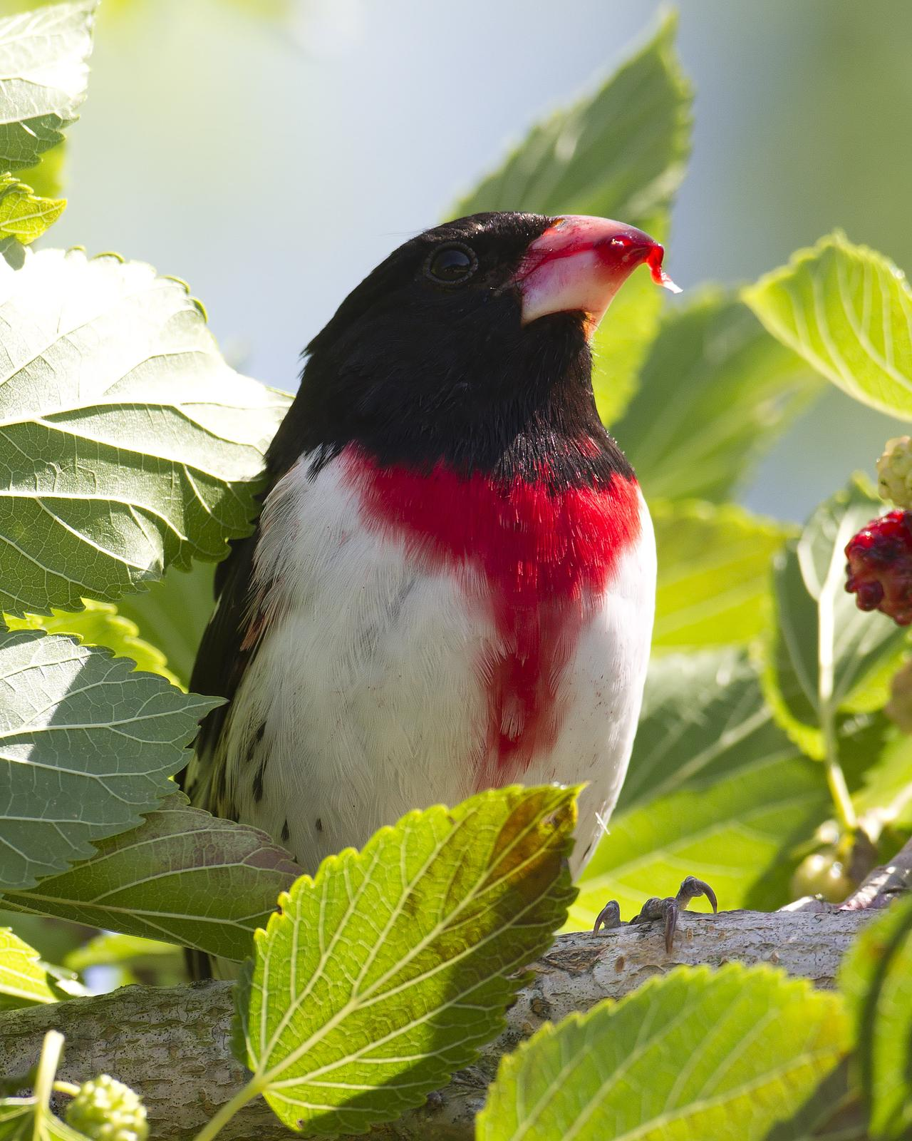Rose-breasted Grosbeak Photo by Bill Adams
