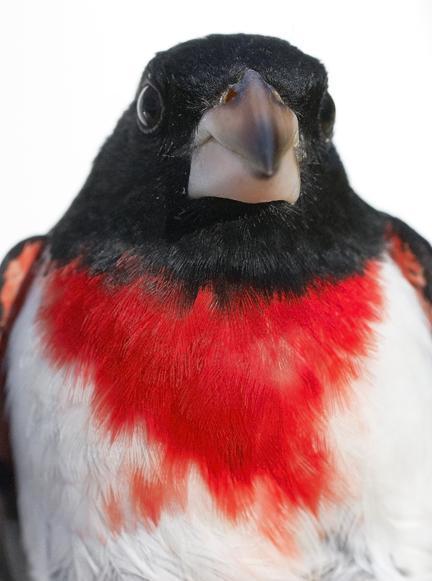 Rose-breasted Grosbeak Photo by Dan Tallman