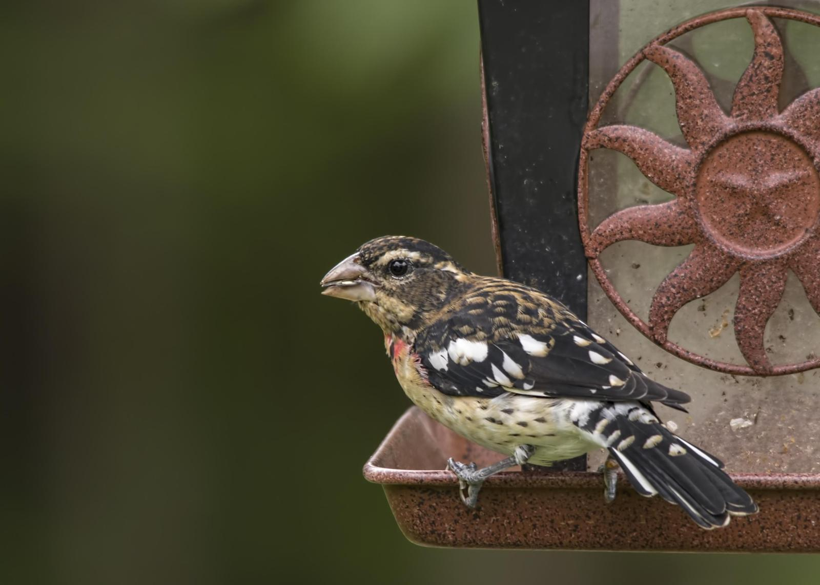 Rose-breasted Grosbeak Photo by Tracy Patterson