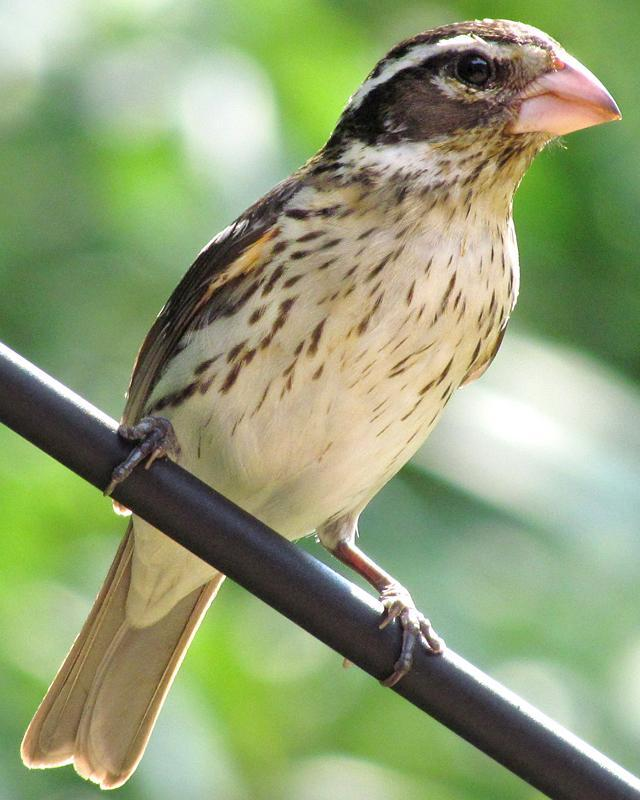 Rose-breasted Grosbeak Photo by Ashley Bradford