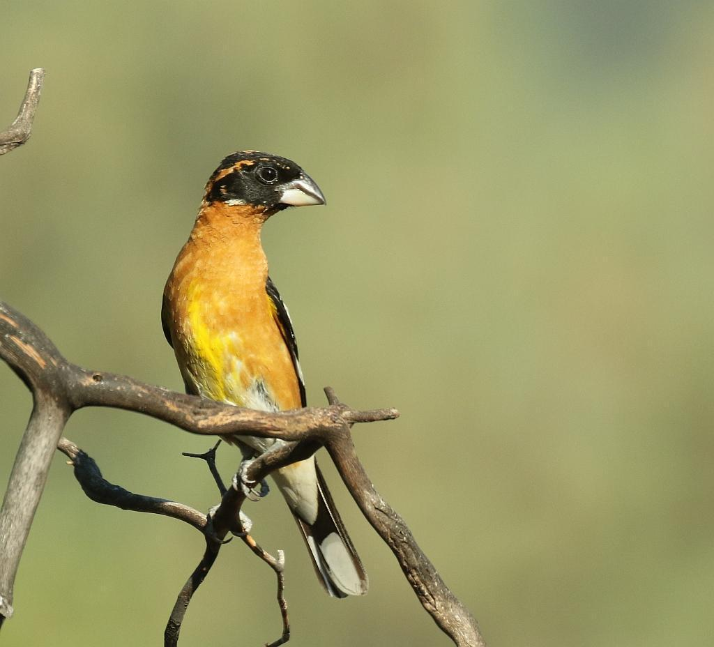 Black-headed Grosbeak Photo by Vicki Miller