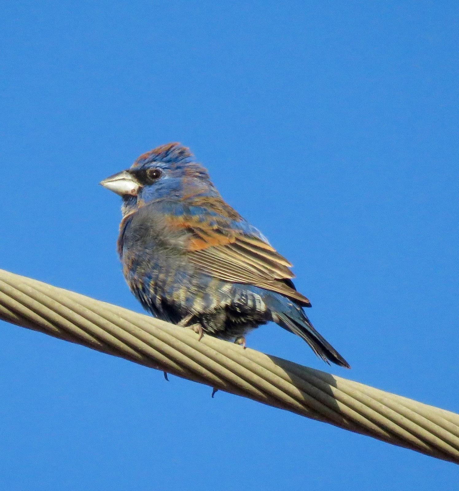 Blue Grosbeak Photo by Don Glasco