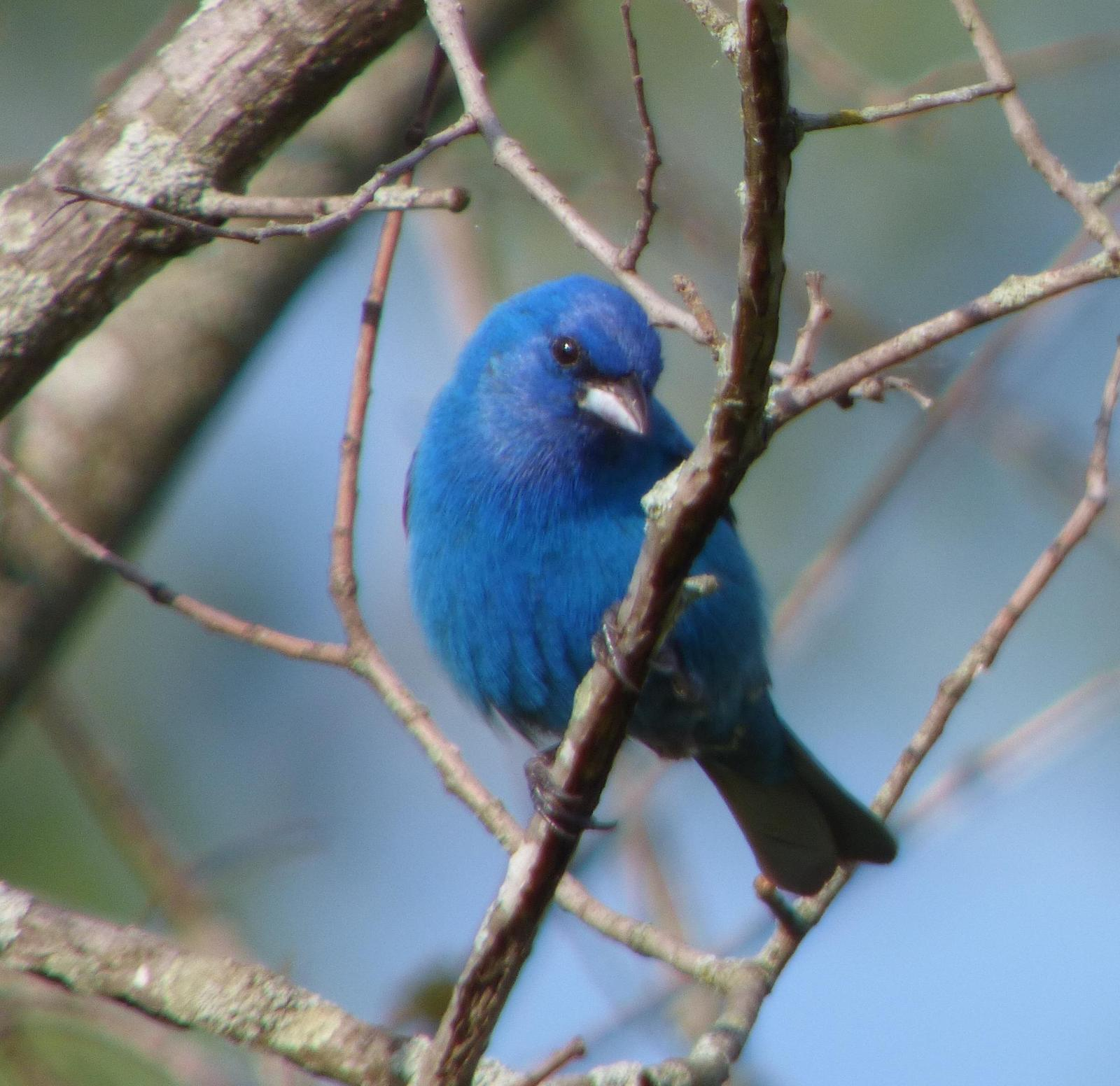Indigo Bunting Photo by Phil Ryan