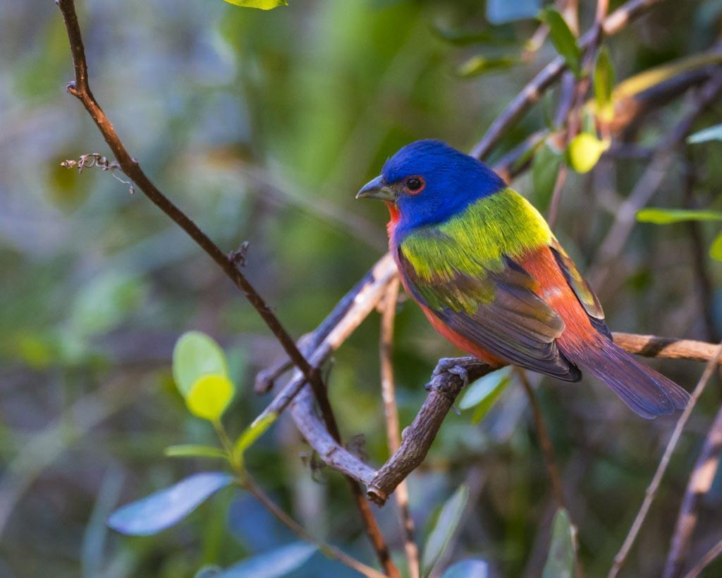 Painted Bunting Photo by Donald Brown