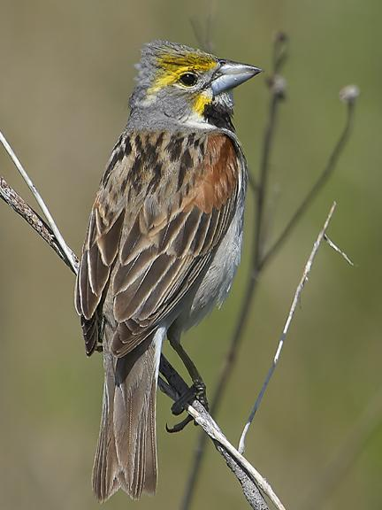 Dickcissel Photo by Dan Tallman