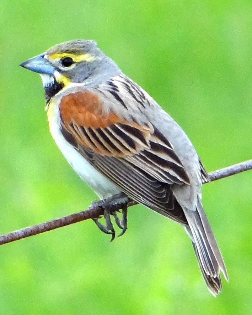 Dickcissel Photo by Todd A. Watkins