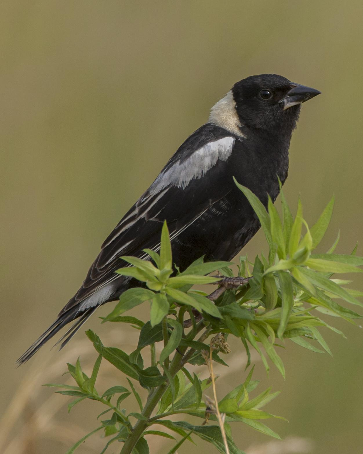 Bobolink Photo by Jeff Moore