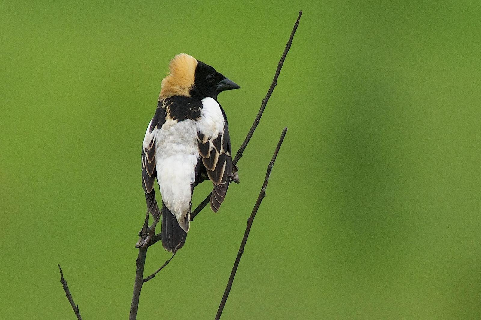 Bobolink Photo by Gerald Hoekstra