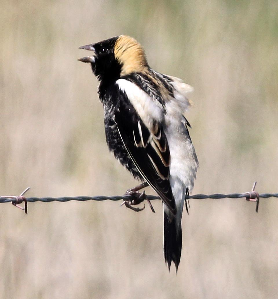 Bobolink Photo by Tom Gannon