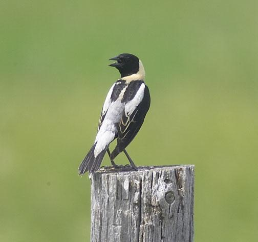 Bobolink Photo by Dan Tallman