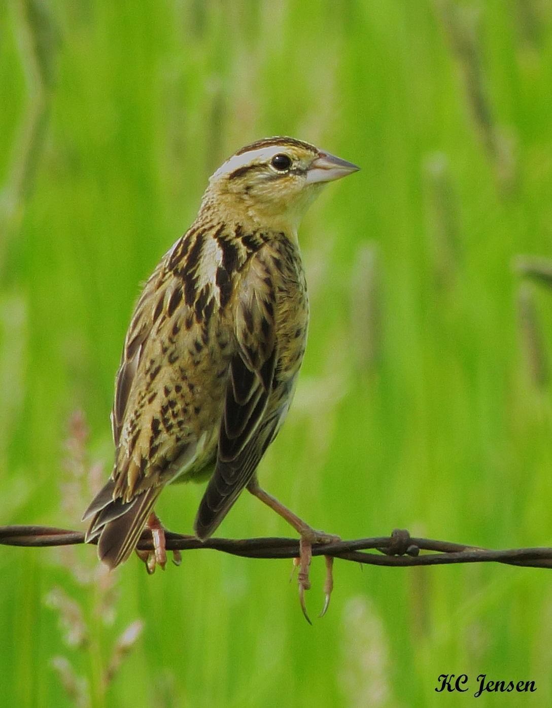 Bobolink Photo by Kent Jensen