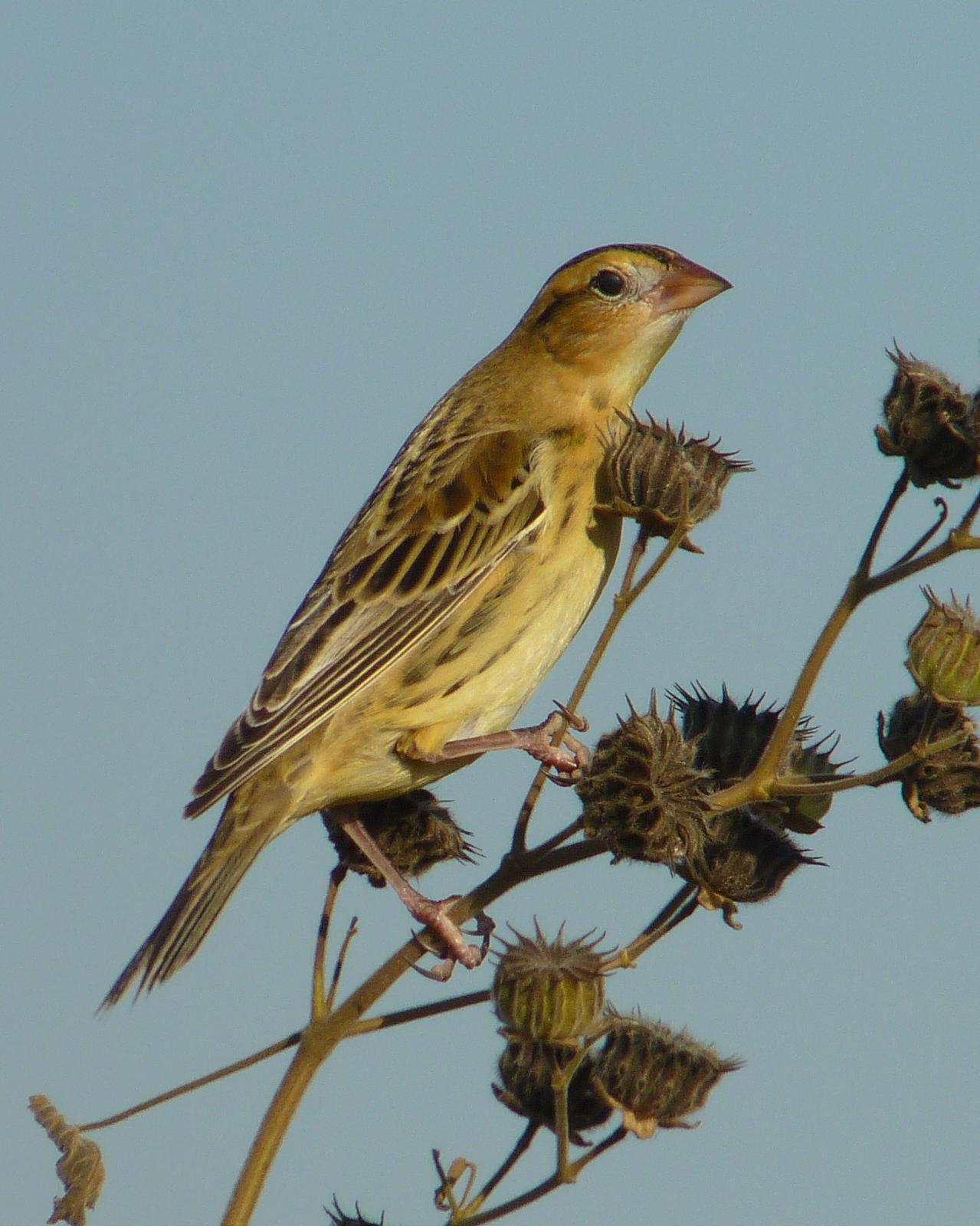 Bobolink Photo by Sean Fitzgerald