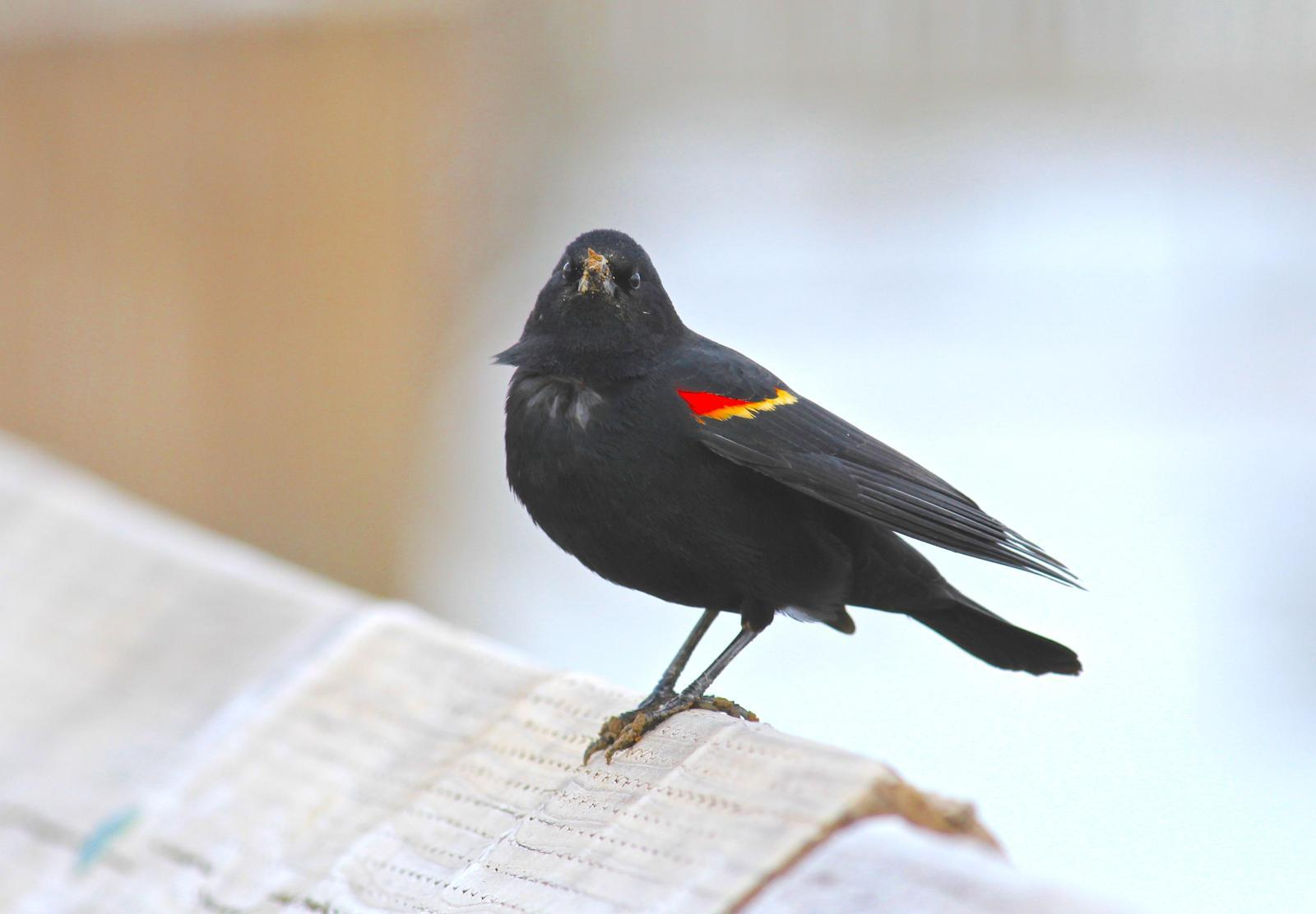 Red-winged Blackbird Photo by Kathryn Keith
