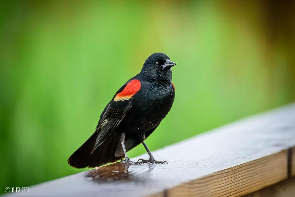 Red-winged Blackbird Photo by Y TSAI