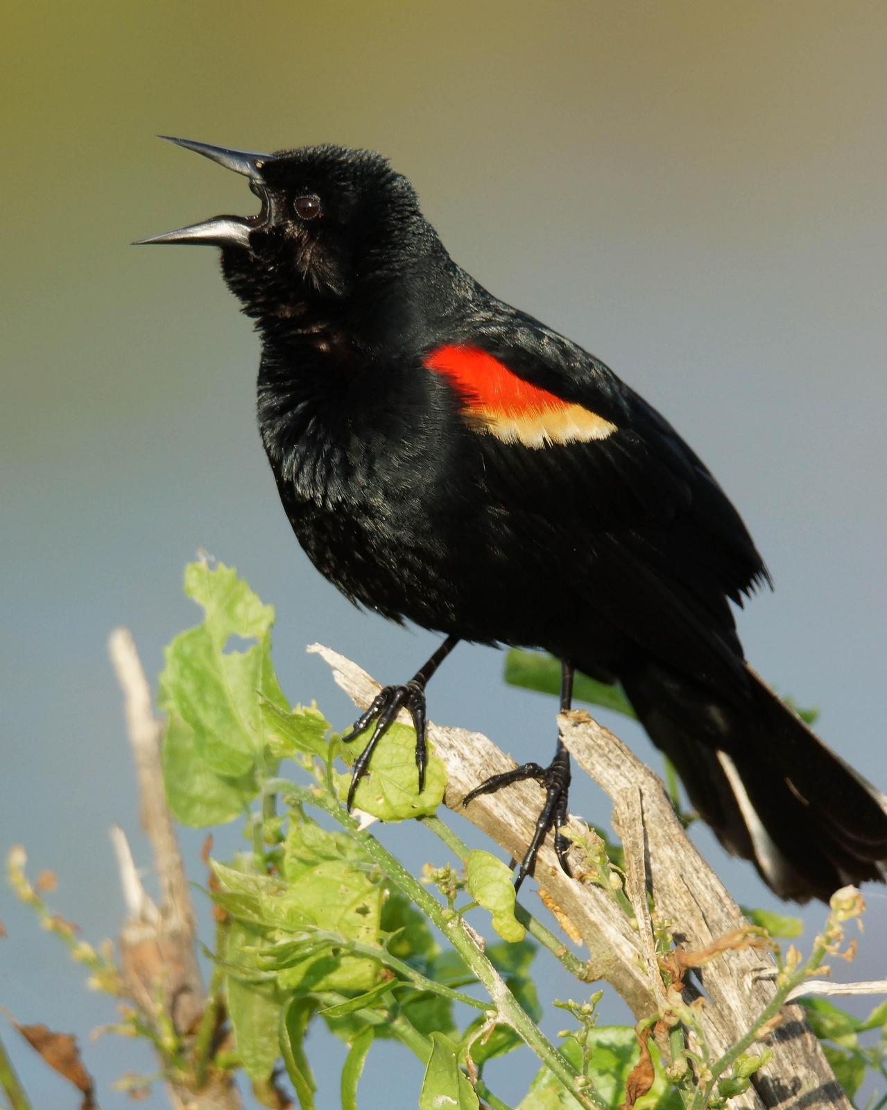 Red-winged Blackbird Photo by Steve Percival