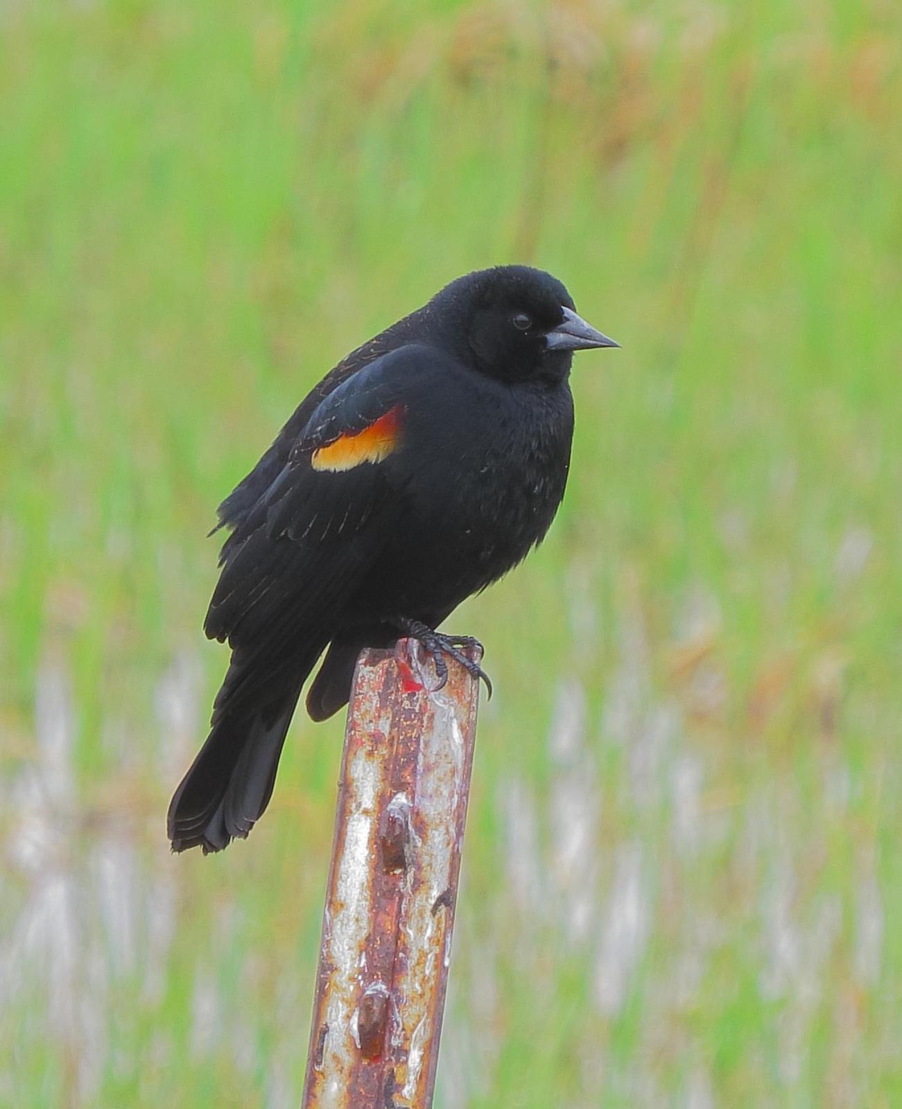 Red-winged Blackbird Photo by Kent Jensen