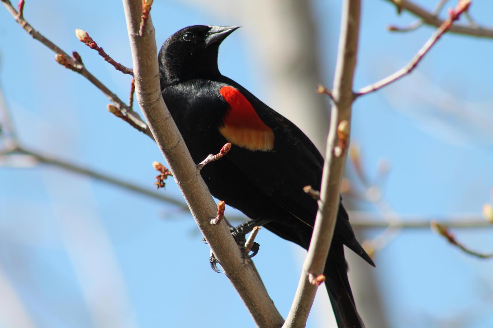 Red-winged Blackbird Photo by Lorraine Lanning