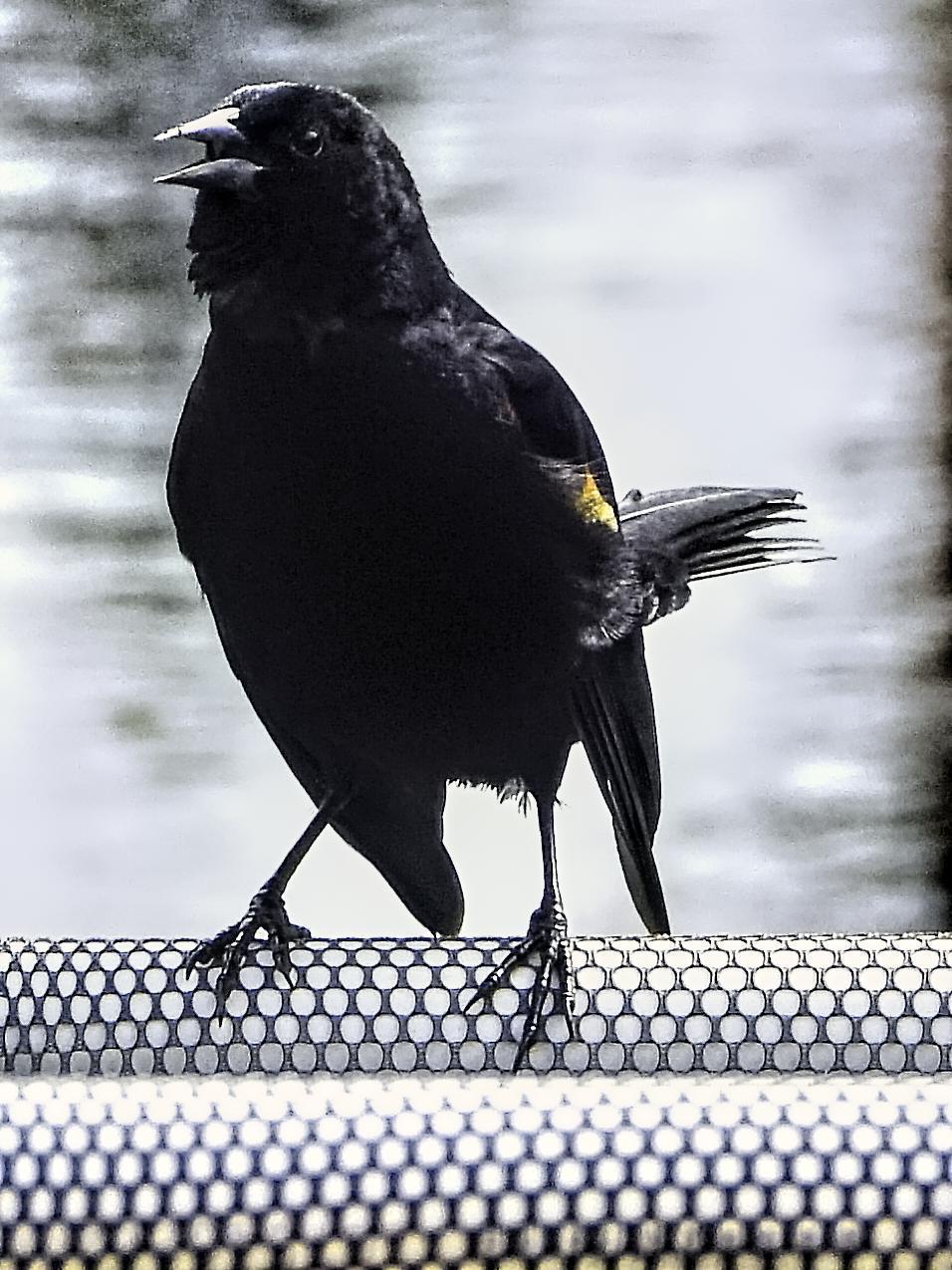 Red-winged Blackbird Photo by Dan Tallman