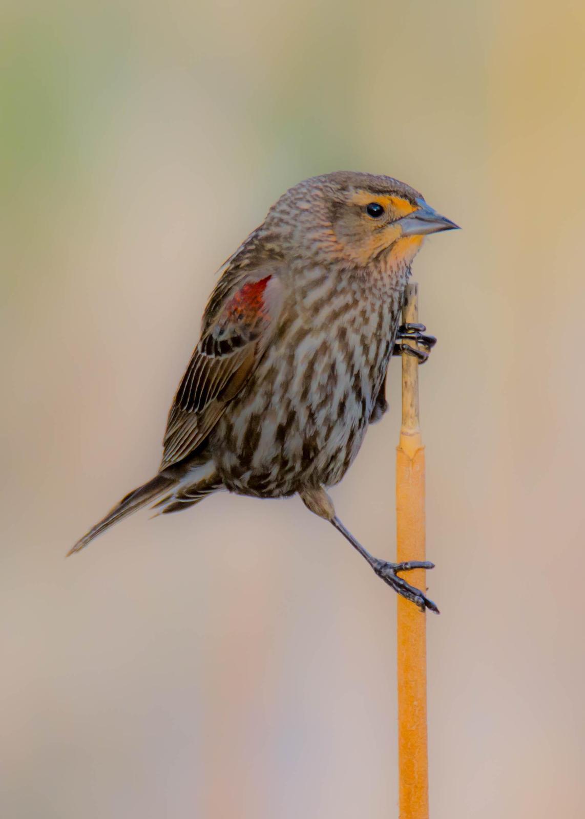 Red-winged Blackbird Photo by Karen Prisby