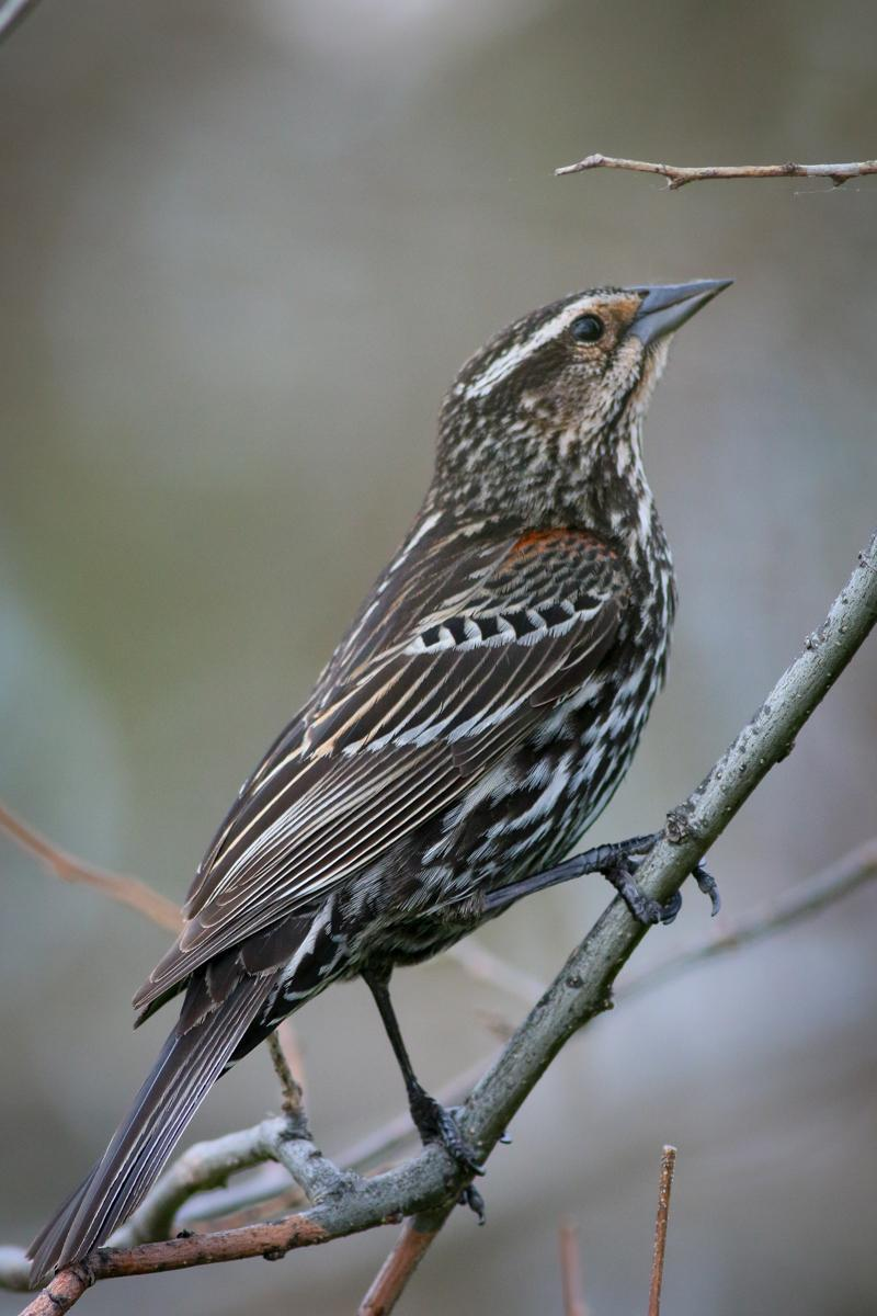 Red-winged Blackbird Photo by Skip Russell